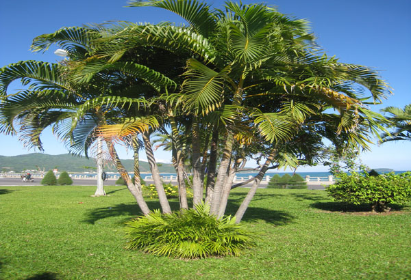 Cây dừa cảnh - cây phong thủy trước nhà được ưa chuộng