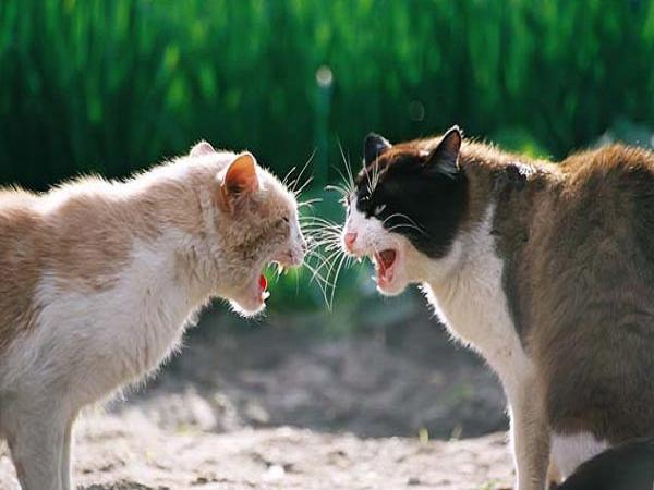 Mèo vào nhà dự báo trước điềm gì?