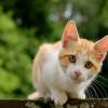 Mèo vào nhà thường mang đến may mắn hay xui xẻo