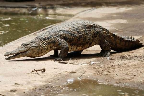 Mơ thấy cá sấu tiềm ẩn nguy hiểm