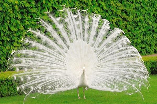 Mơ thấy chim Công Xoè Cánh