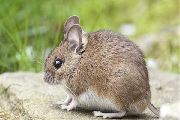 Mơ thấy chuột đánh con gì ?