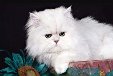 Giải mã giấc mơ thấy Mèo trắng