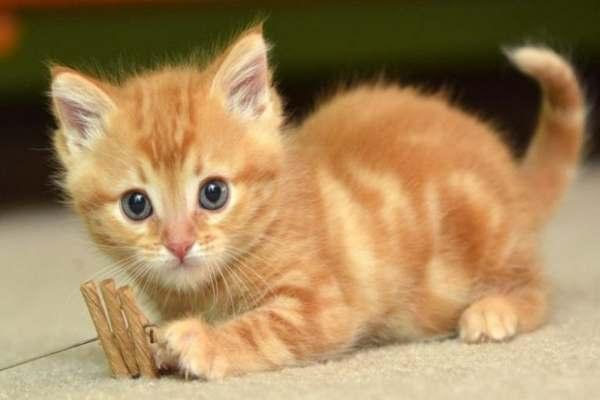 Mơ tháy Mèo vàng là điềm báo gì?